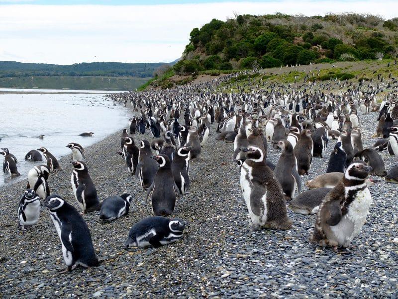 pinguini della terra del fuoco
