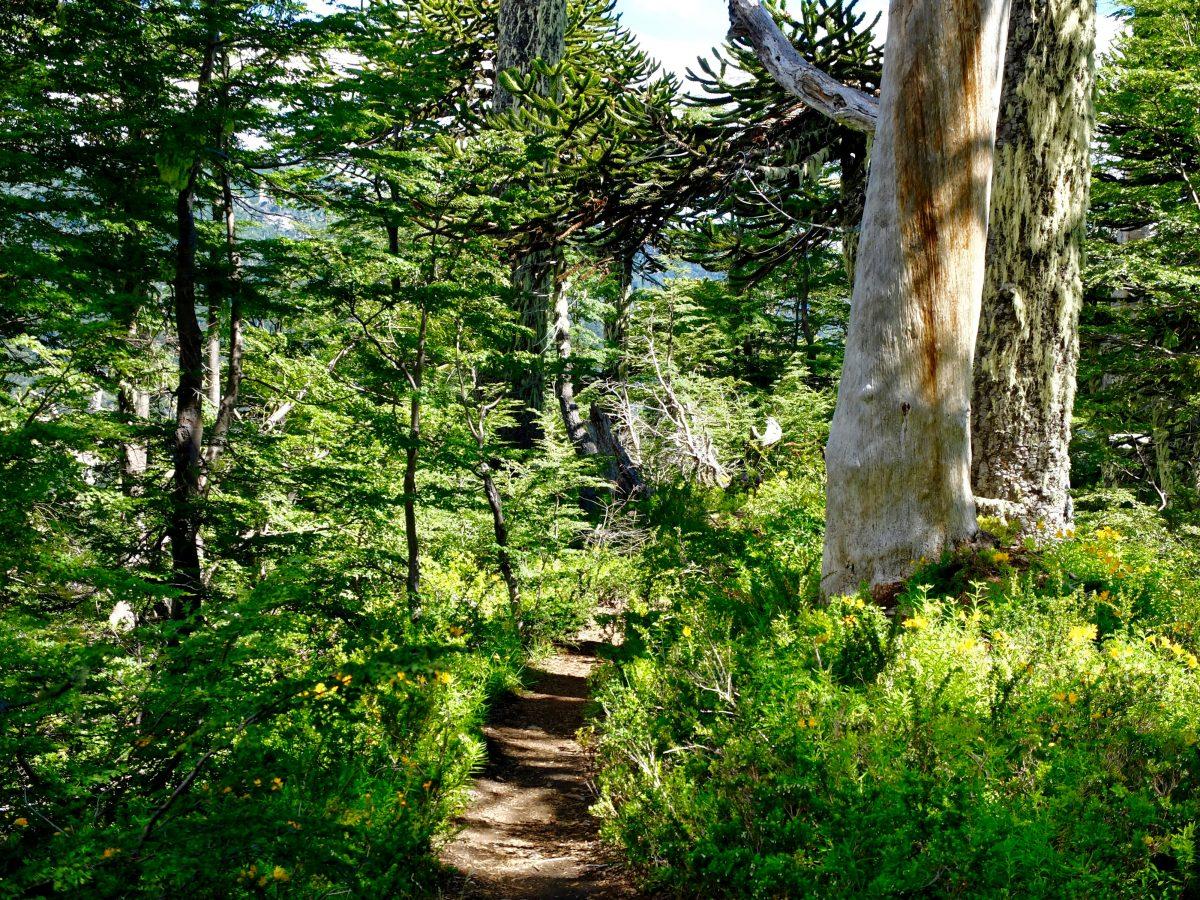 Cile del Sud: araucarie nel Parque National Conguillo