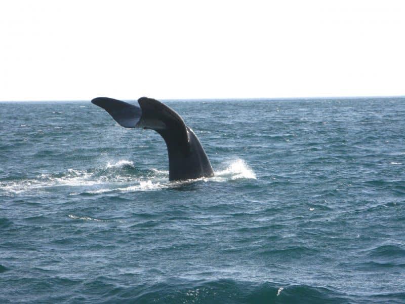 Cape Town - balene a Hermanus