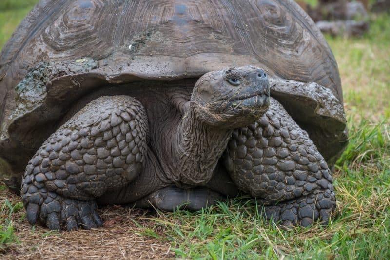 galapagos - tartaruga gigante