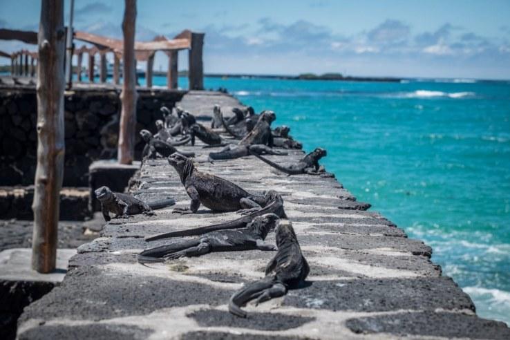 galapagos - isabela - iguane