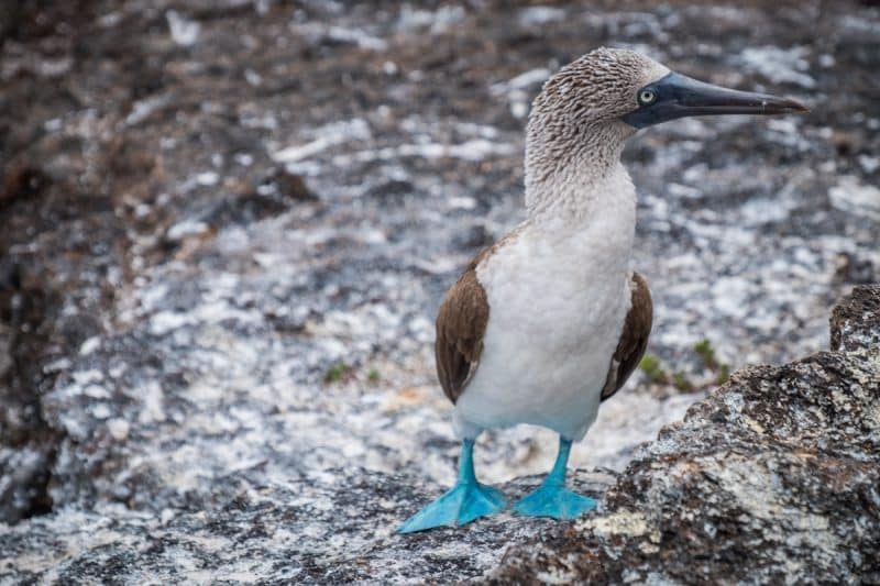 galapagos - blue-footed booby