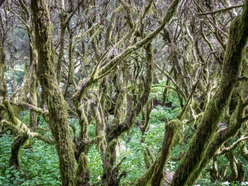 El Hierro cosa vedere: il bosco di laurisilva